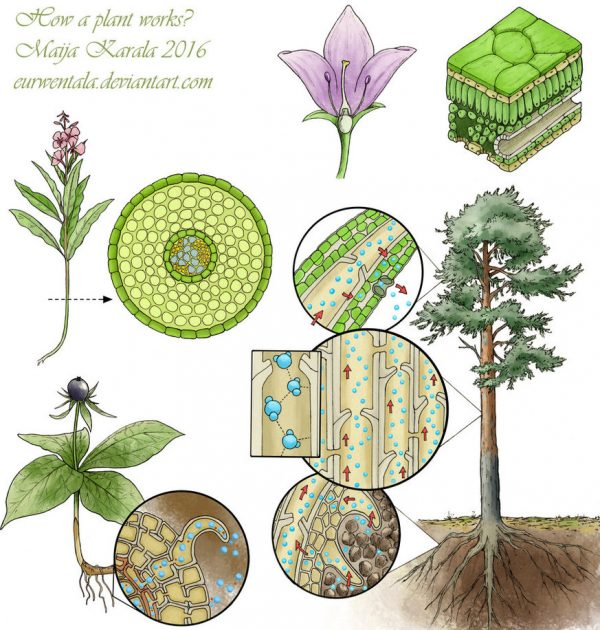 How_does_a_plant_work_by_eurwentala_illustration