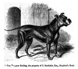 """Top"", a pure Bulldog, the property of C. Stockdule, Esq., Shepherd's Bush."" An Old English Bulldog, extinct dog breed. 1859."